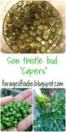 Sow Thistle Bud Capers!