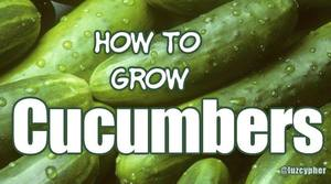 How To Grow Cucumbers & Make Pickles!